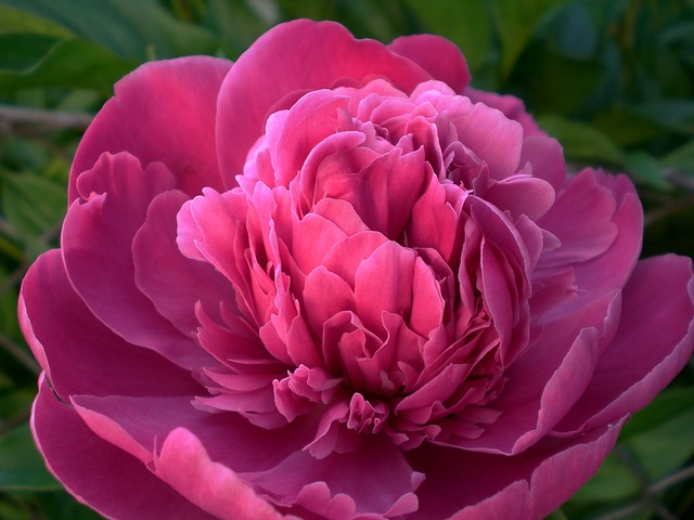 花 言葉 牡丹